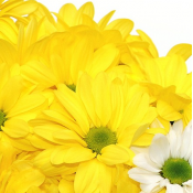 Yellows (4)